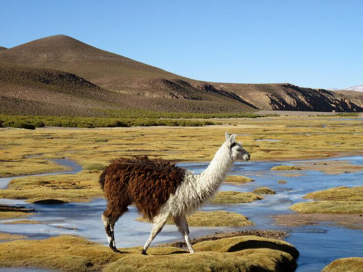 Llamas Bolivia