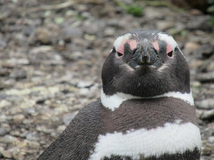 Pinguim Isla Martillo